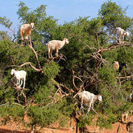 How many goats can one argan tree bear?