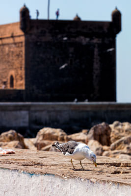 Thumbnail image ofScavenging seagull at the port entrance.