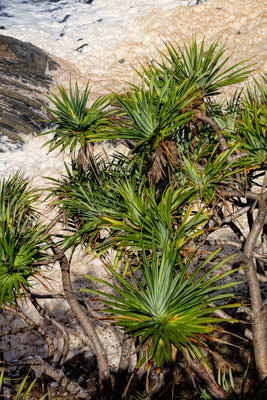 Thumbnail image of Sea foam behind Pandanus Pine.