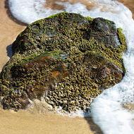 Beach rock with micro-life.