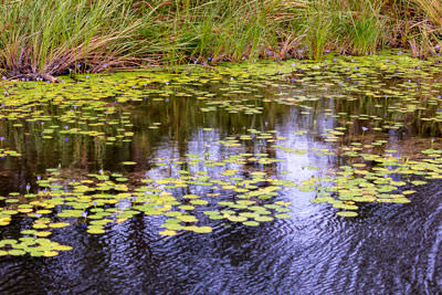 Thumbnail image ofWater lilies and reeds.