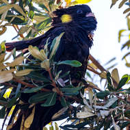 Yellow Tailed Black Cockatoo, calyptorhynchus funereus, in a banksia tree.