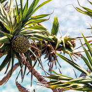 Pandanus pine fruit.