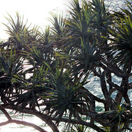Pandanus pine against the sea.