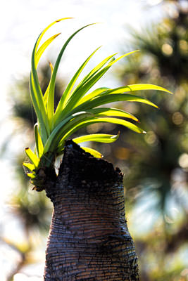 Thumbnail image of Pandanus pine re-sprouting.
