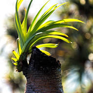 Pandanus pine re-sprouting.