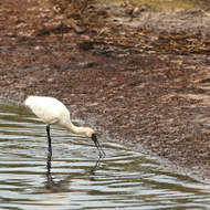 White Ibis, threskiornis molucca, in the mud flats.