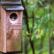 Ring Tailed Possum takes over a bird nesting box.