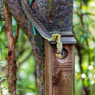 Carpet python, morelia spilota, attempts to withdraw a Ring Tailed Possum from a bird nesting box.