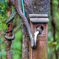 Carpet python, morelia spilota, trying very hard to withdraw a Ring Tailed Possum from a bird nesting box.