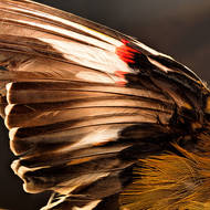 Wing of a Striated Pardalote, pardalotus striatus.