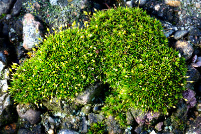 Thumbnail image ofThread moss, orthodontium lineare, in flower.