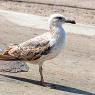 Young yellow-legged gull, larus michallis, watching for tit-bits.