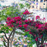 In bloom, jacaranda and bougainvillea trees.