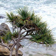 Pandanus overhangs crashing surf.