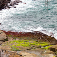 Brown and green algae on coastal rocks.