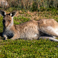 Kangaroo lazing around in the morning sun.