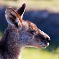 Kangaroo close profile.  Alert but not alarmed.