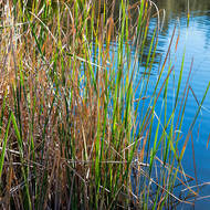 Reeds in Angourie Blue Pool.