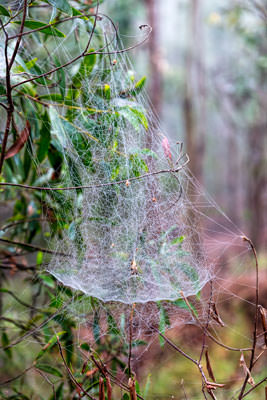 Thumbnail image of Web of tent spider, cyrtophora citricola.