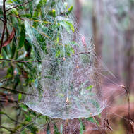 Web of tent spider, cyrtophora citricola.