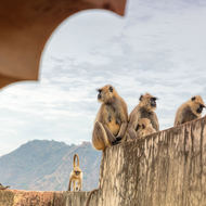 Grey Langur monkeys on the walls of Man Singh palace.
