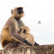 Spare a thought; Grey Langur mother and child.