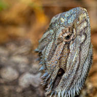 Bearded Dragon lizard, pogona, profile.