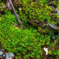 Verdant thread moss after rain.