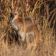 Red necked wallaby, camouflage.