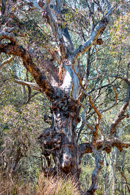 Thumbnail image of Gnarled and stunted gum tree.