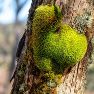 Clump of capillary thread moss on a tree.