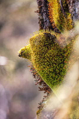 Thumbnail image of Capillary thread moss doing well.