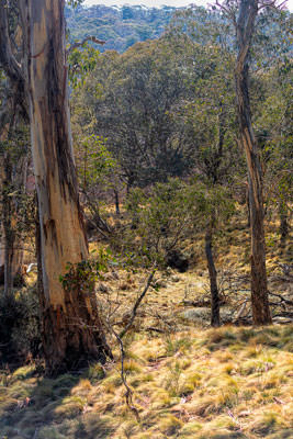 Thumbnail image of High country sparse eucalypt forest.