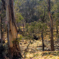 High country sparse eucalypt forest.
