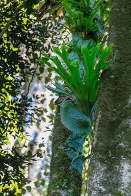 Thumbnail image of Staghorn ferns in the rainforest trees.