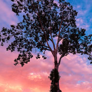 Gum tree at last light
