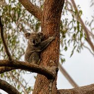 Male koala, on the way up.