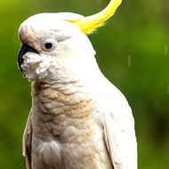 Sulfur Crested Cockatoo out in the rain.