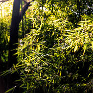 Sun through garden bamboo.