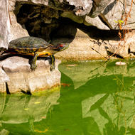 Red eared slider turtle.