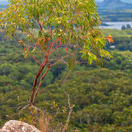 Flowering gum on Mt Tinbeerwah summit.