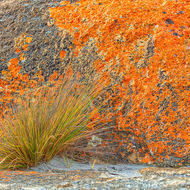 Orange lichen on granite with grass.