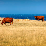 Cows with a view of Bass Strait.